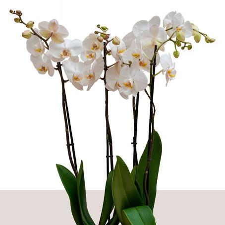 Comment entretenir une orchidée.