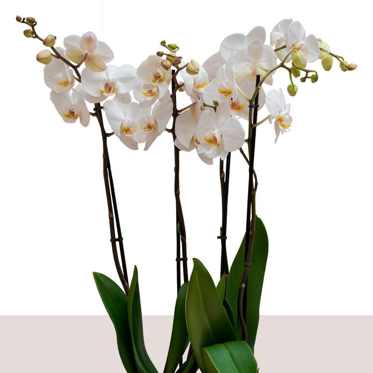 livraison d'orchidée blanche à Paris les bouquets de la muse