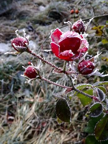 frozenrose