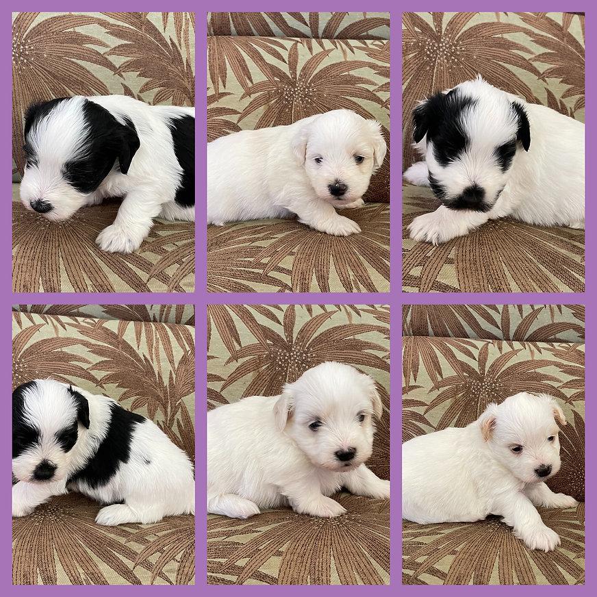 Freddiespuppies3weeks.jpg