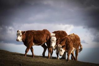 Dyrevelfærd i indhegninger: Vi mangler folk med praktisk erfaring