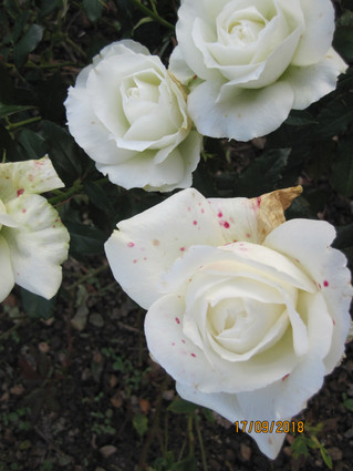 Roser fra haven