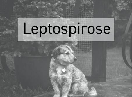 Conhece a Leptospirose?