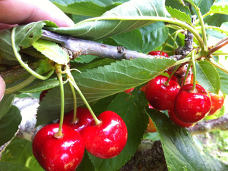 BC Cherry Crop Update