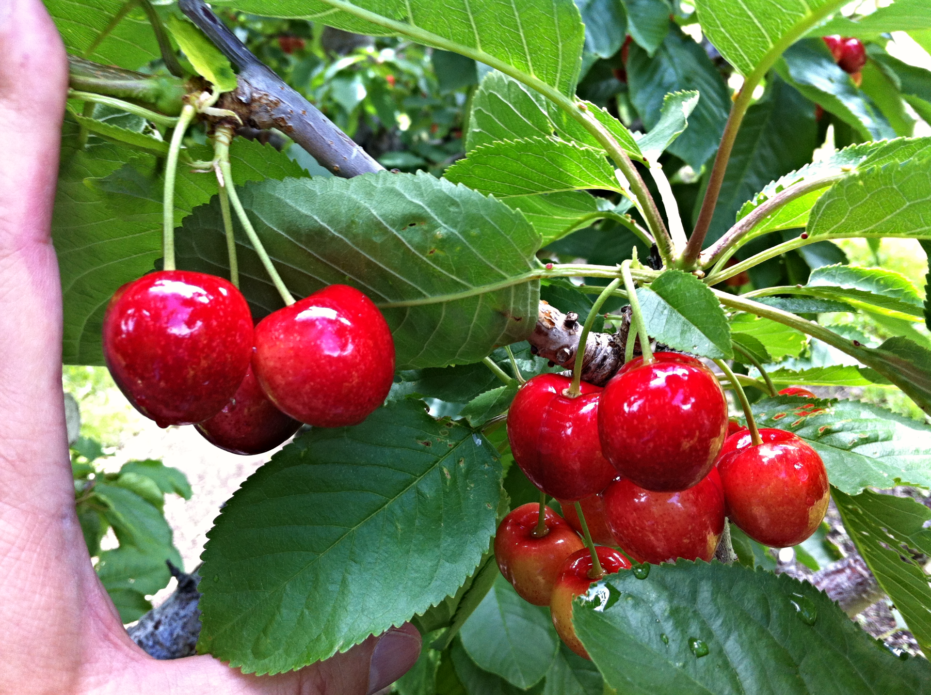 BC CHERRIES 2 WEEKS BEFORE HARVEST
