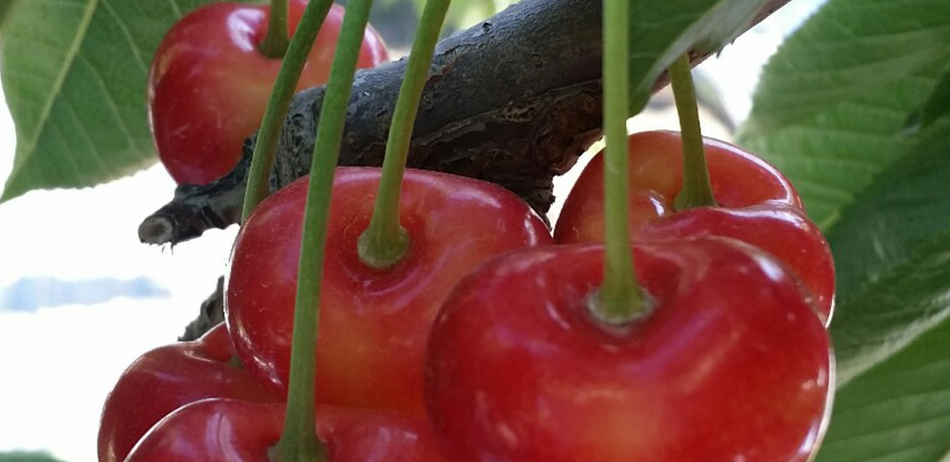 BC Rainier Cherries