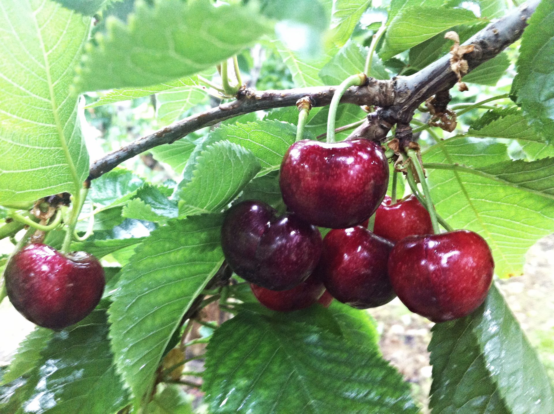 BEAUTIFUL CRUNCHY TIETON CHERRIES
