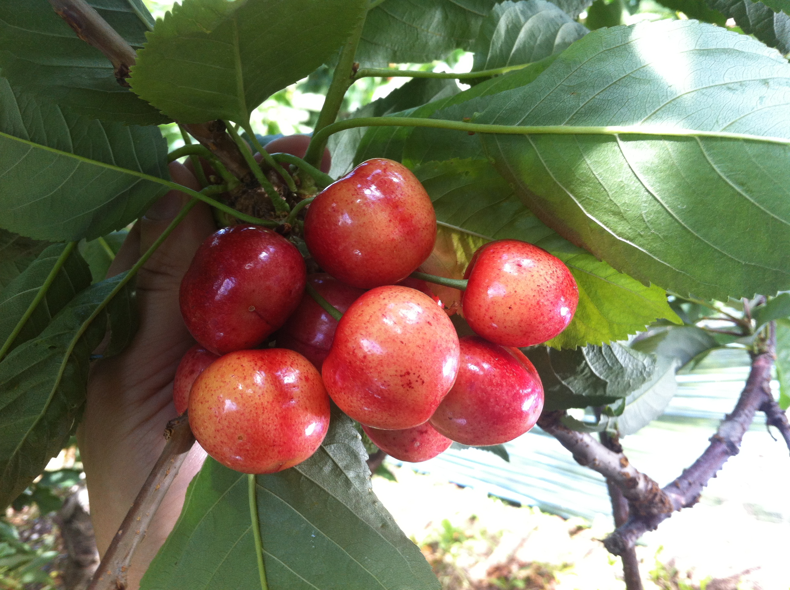 BC CHERRIES 3 WEEKS BEFORE HARVEST