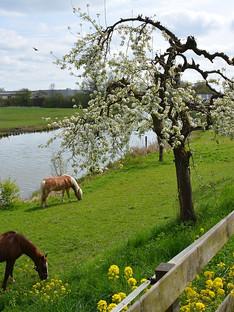 paarden_in_de_Betuwe.jpg