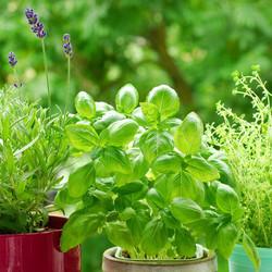 herb-varieties