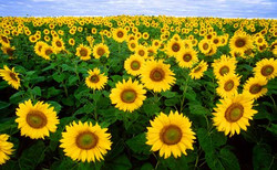 Sunflower-field-Fargo-North-Dakota