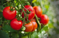 tomato-4241980_1920