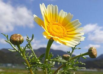 春菊の花.jpg