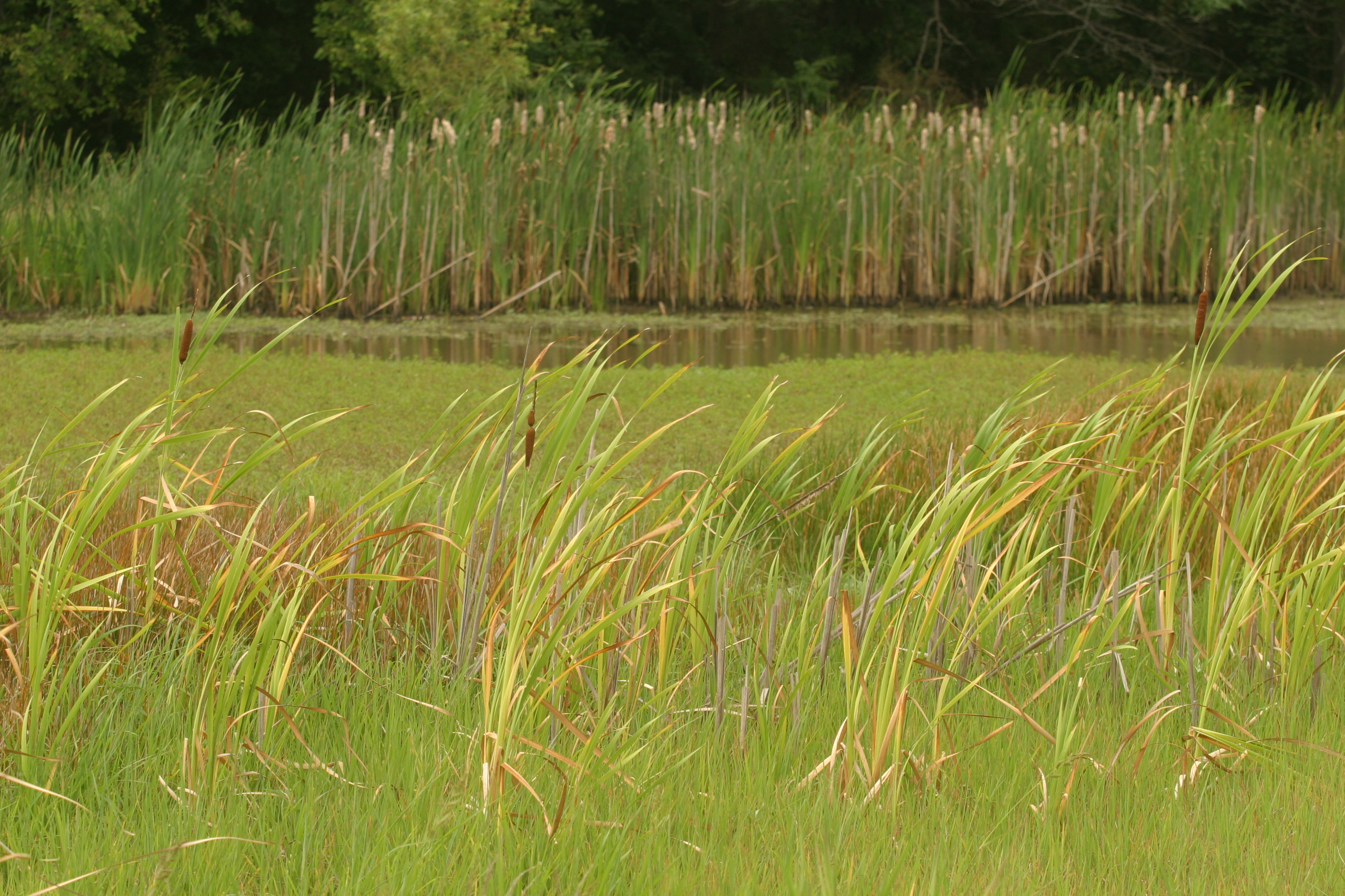 Cattails by the Wetlands