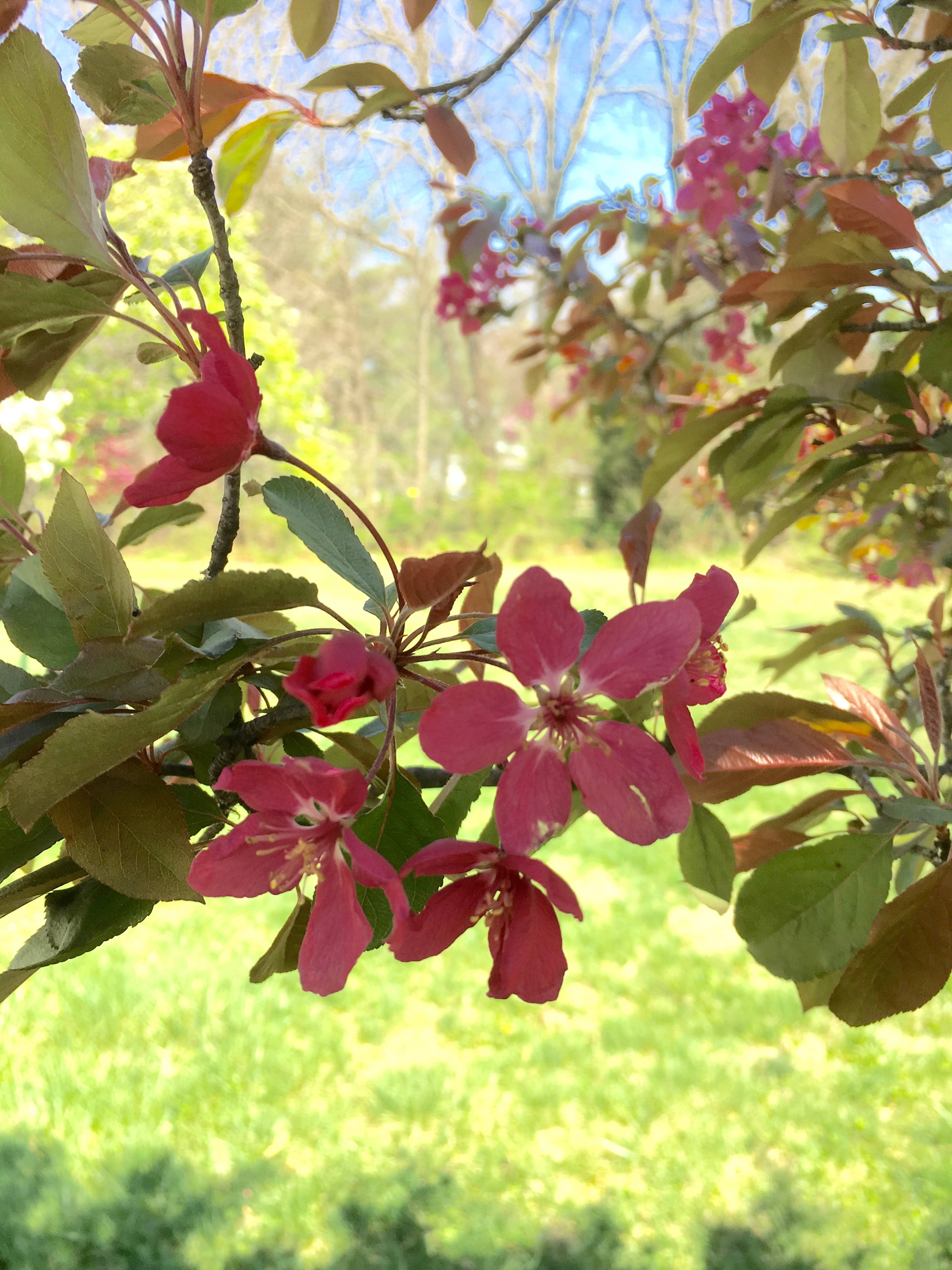 Flowering Red Crabapple blossoms