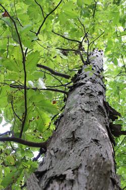 Shagbark Oak bark