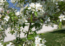 Flowering White Crabapple