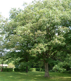 Mature Oak