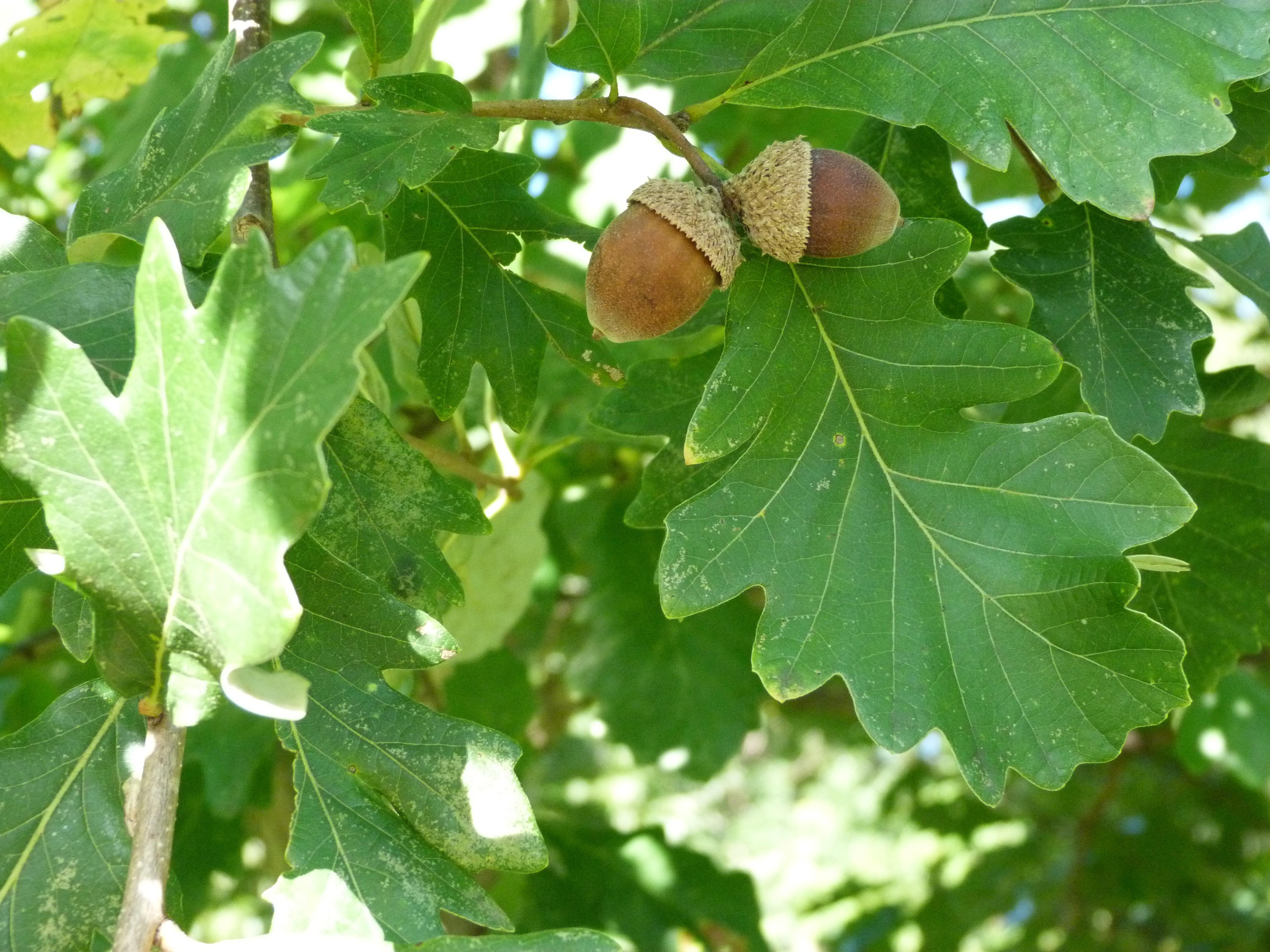 White Oak, acorns and leaves