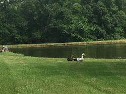 Ducks by Catfish Pond