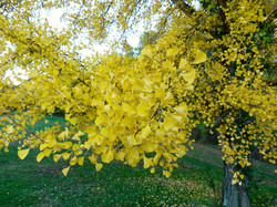 Gingko leaves, fall of the year