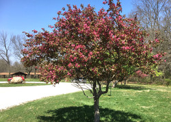 Crabapple tree near the Bowl