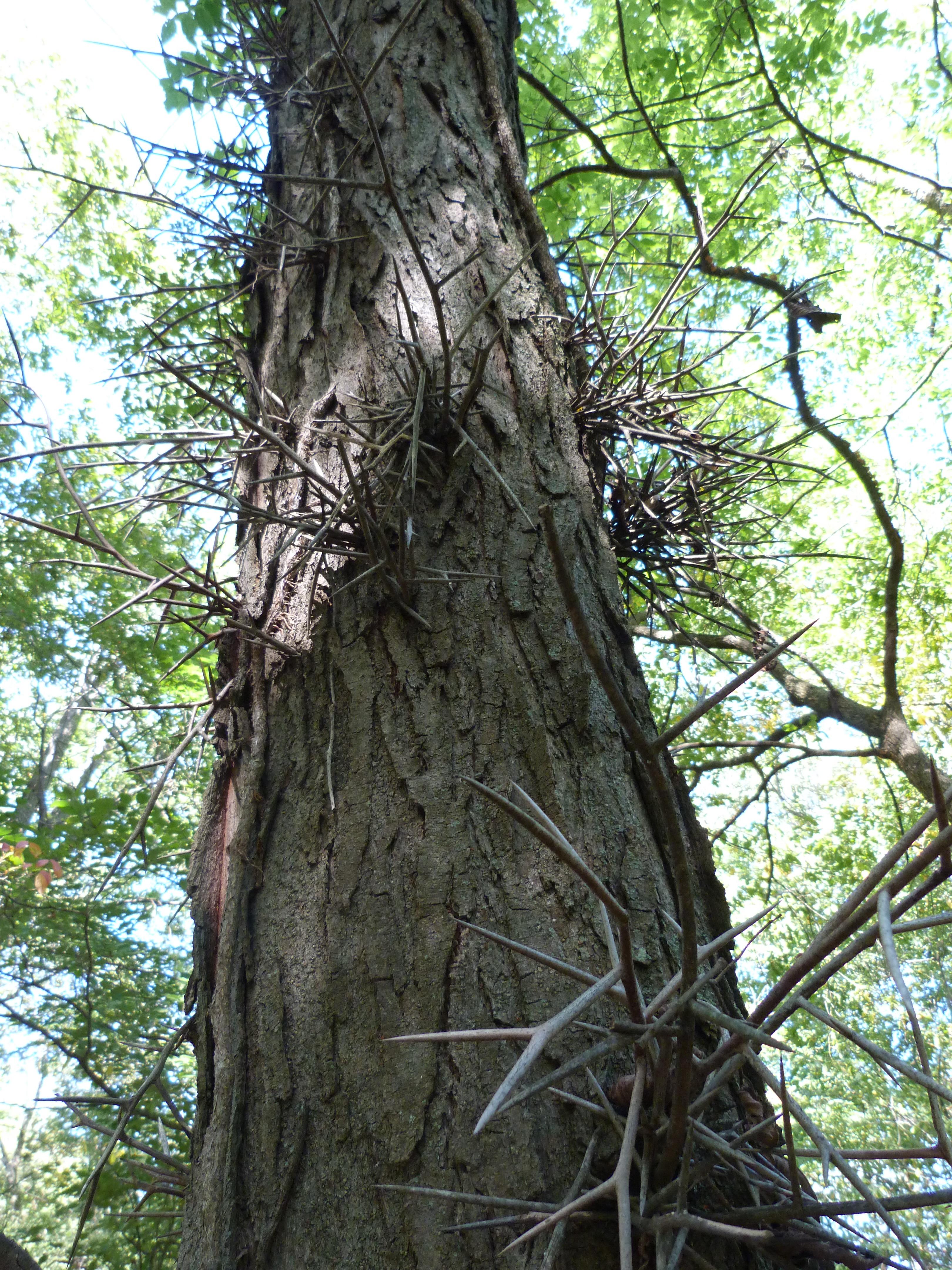 Honey Locust trunk and thorns