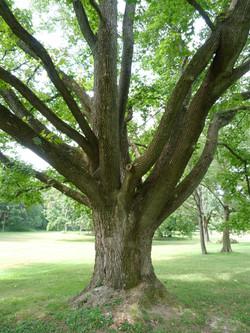 Sweetgum Tree trunk