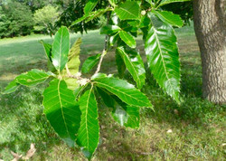Sawtooth Oak leaves