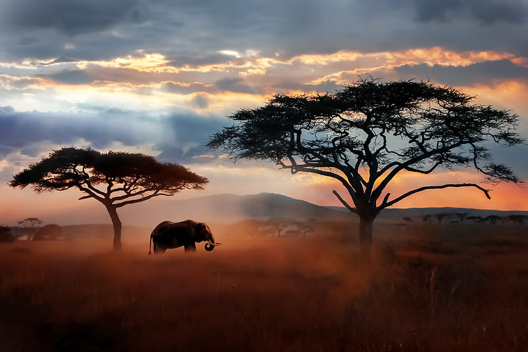 Wild African elephant in the savannah. S