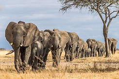 Herd of Elephants in Africa walking thro
