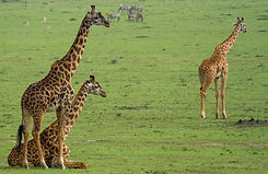 Giraffes in Masai Mara and Serengiti.jpg