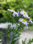 Michaelmas daisies still-born