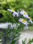 Michaelmas daisies still-born