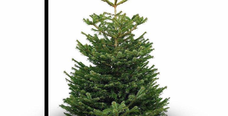 Stort Normannsgran juletræ 200-225 cm