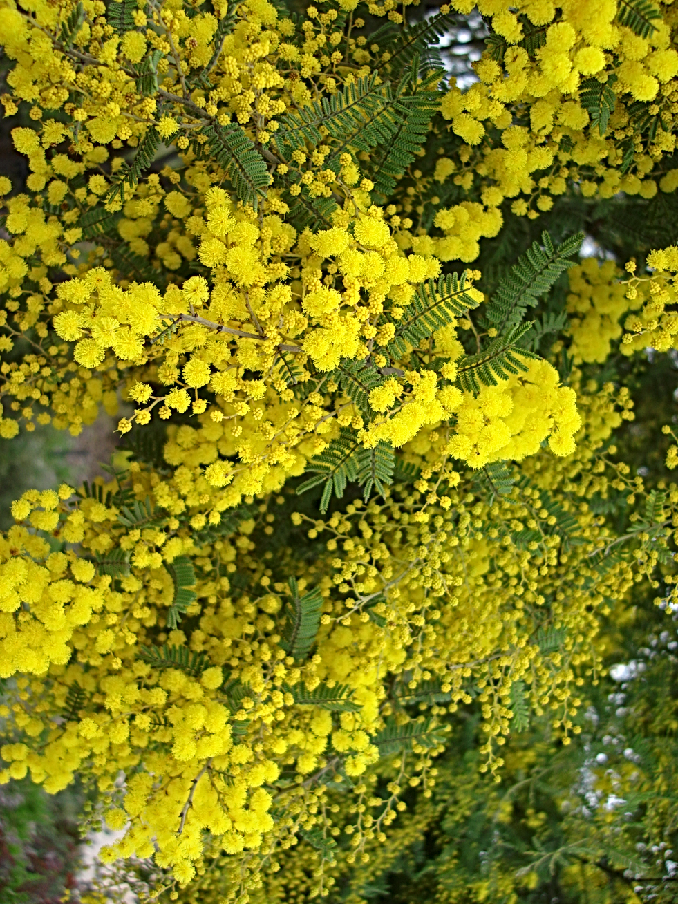 GoldenWattle.png