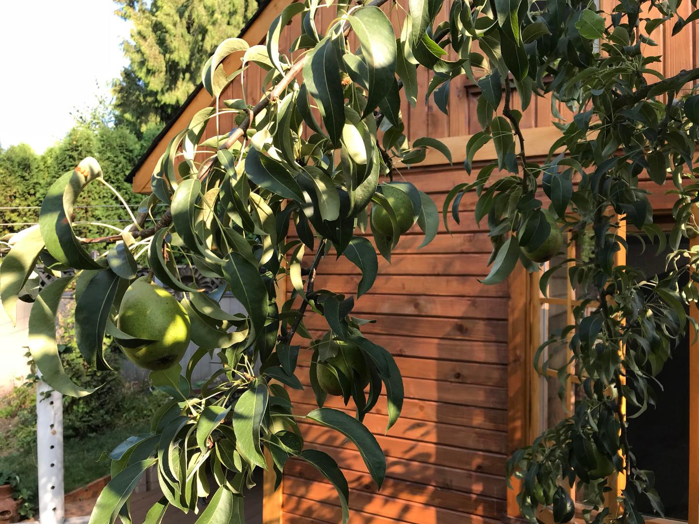 cabin pear.jpg
