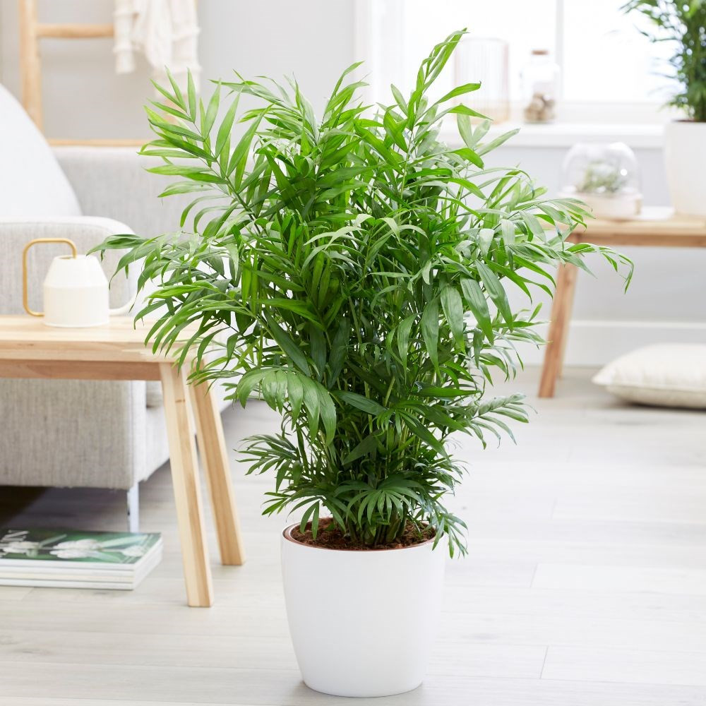 palmeras resistentes biotienda viveron online