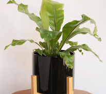 asplenium plant argentina.jpg