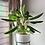 planta aglaonema biotienda plantas
