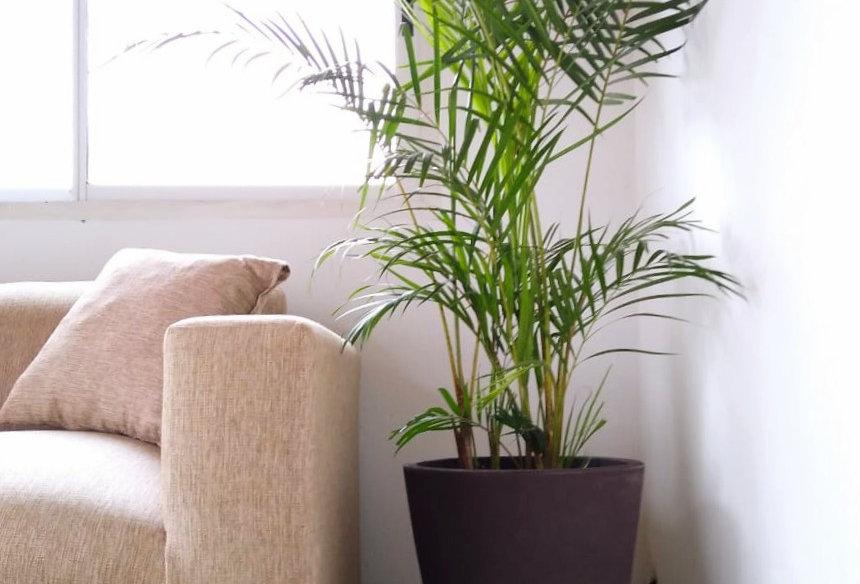 Areca palmera de interior