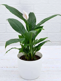 nurserylive-plants-peace-lily-spathiphyllum-plant-16969163899020_600x600.webp