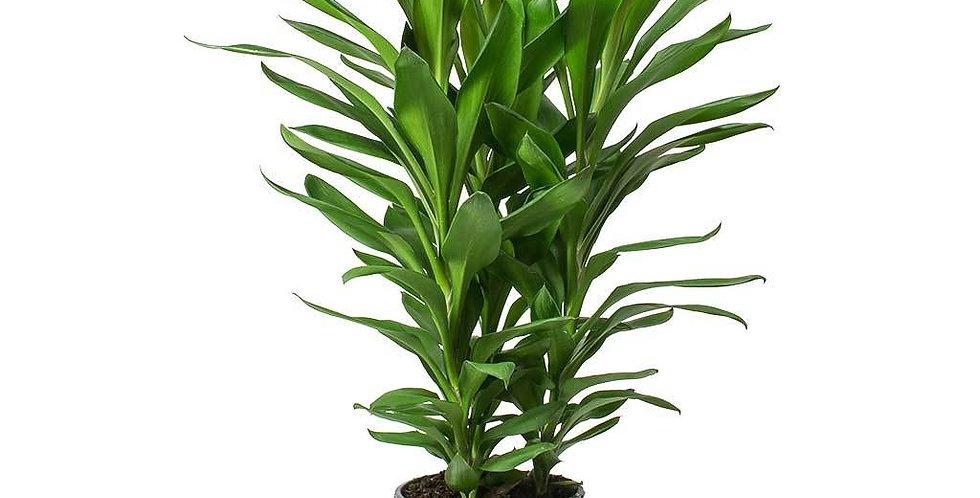 Dracena Robusta envio de plantas