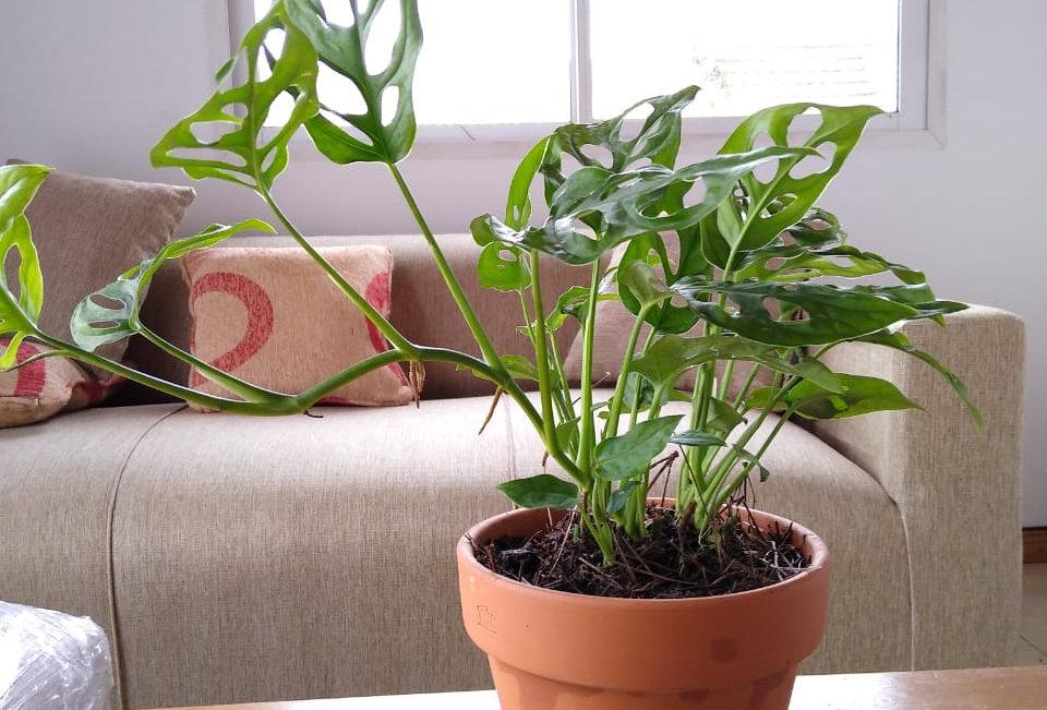 planta peruviana