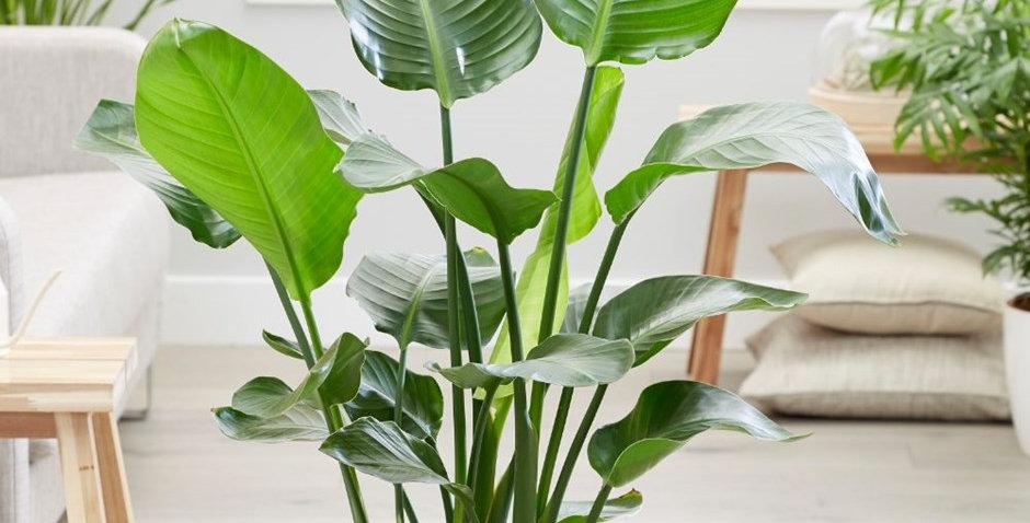 strelitzia nicolai planta de interior