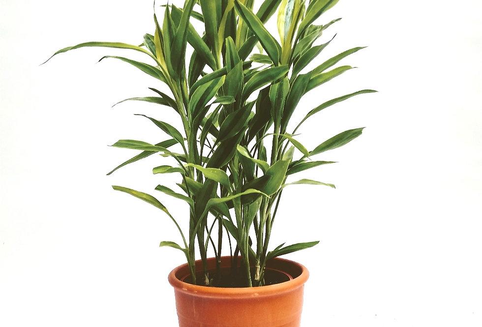 planta bambú de la suerte
