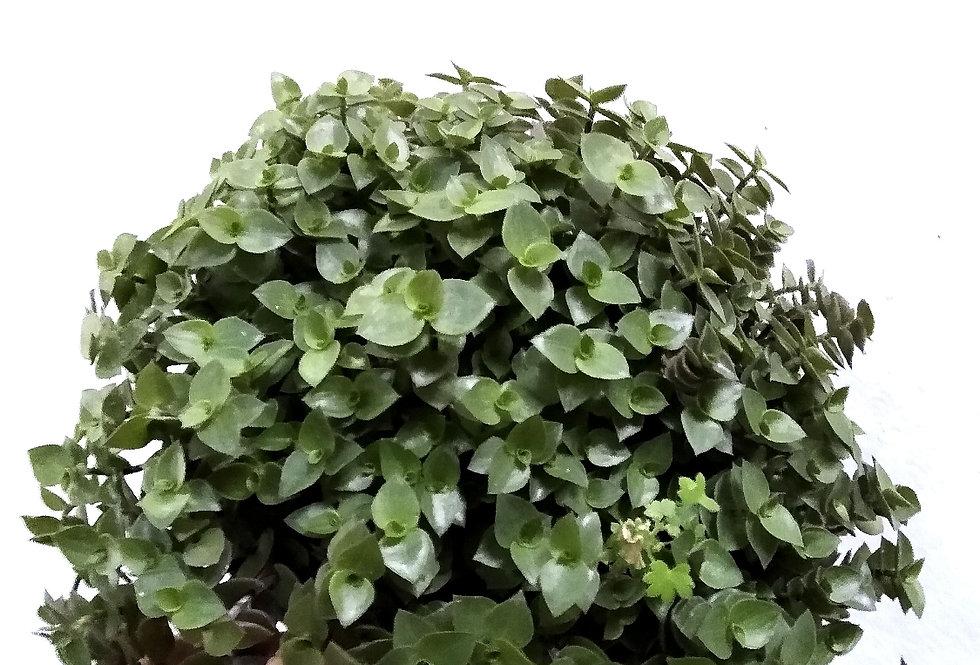 plantas colgantes interior