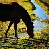 Sunset light on ranch horses~