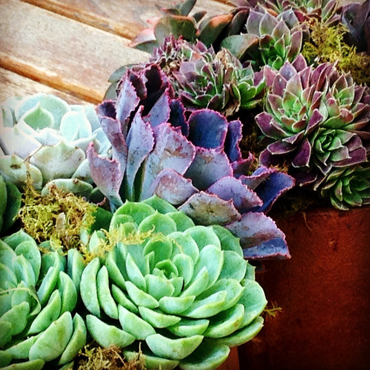 autumn succulents~