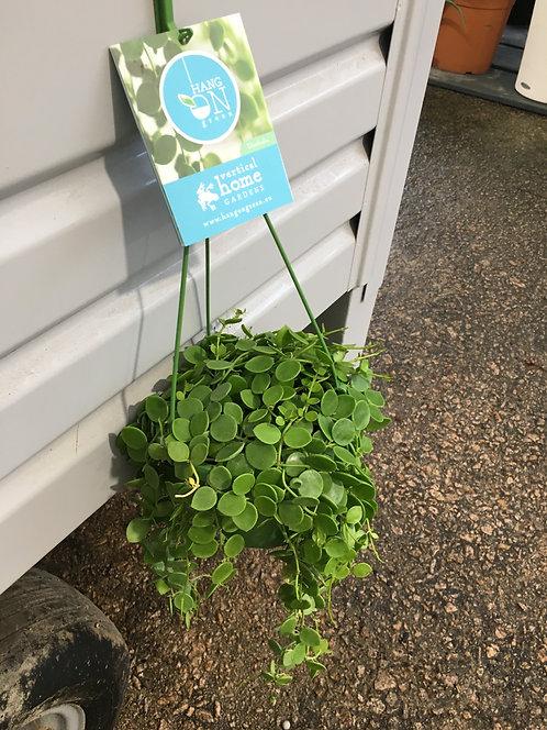 Dischidia nummularia hangon green 40cm